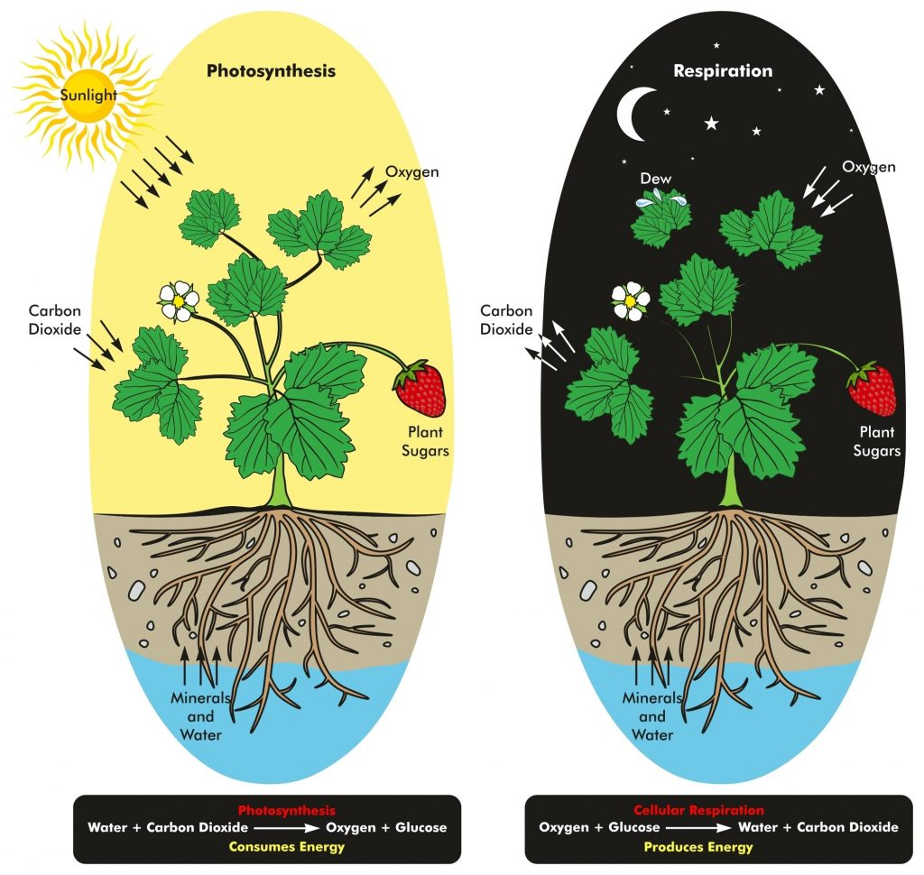 Photosynthesis and Cellular Respiration Process of Plant during day and night time